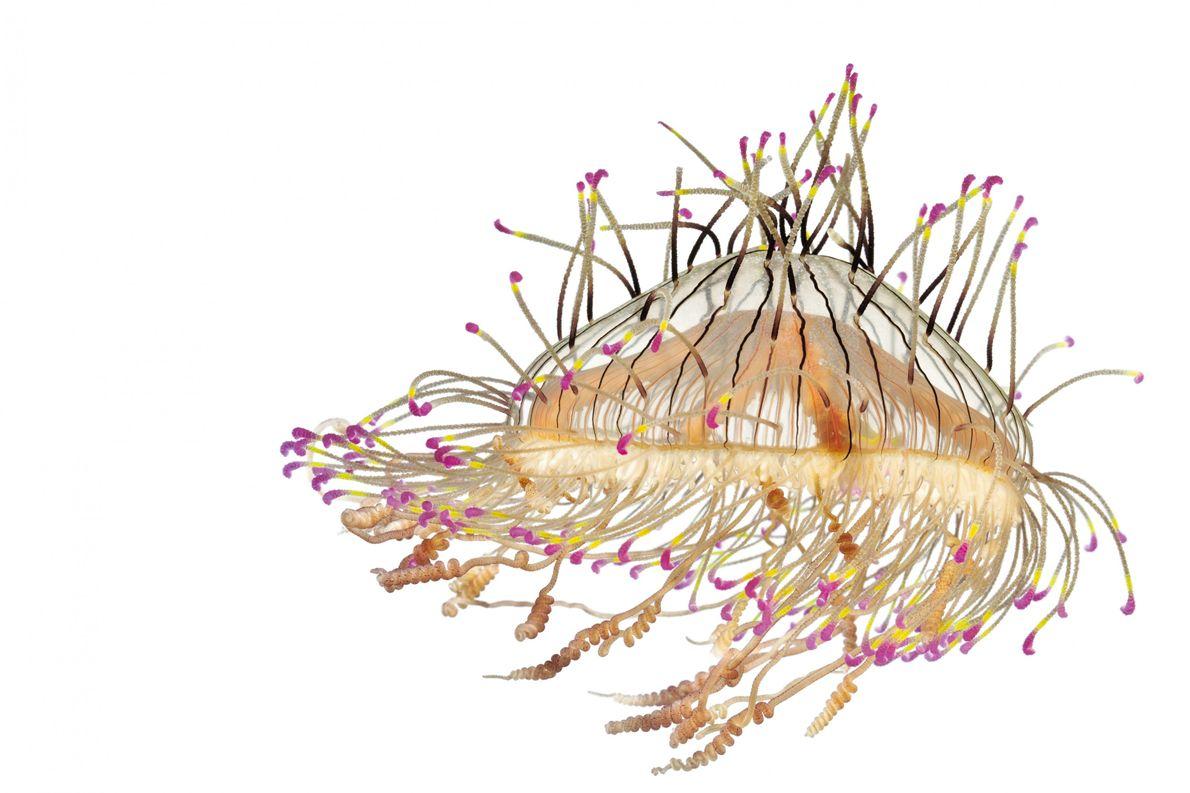 Olindiidae sind ein gutes Beispiel für das Medusen-Paradox: Die Quallen sehen zart aus und sind gleichzeitig …