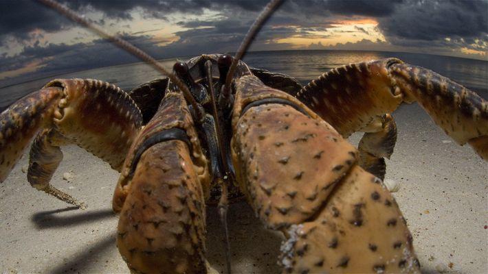 Crabzilla: Ein Monsterkrebs im Porträt