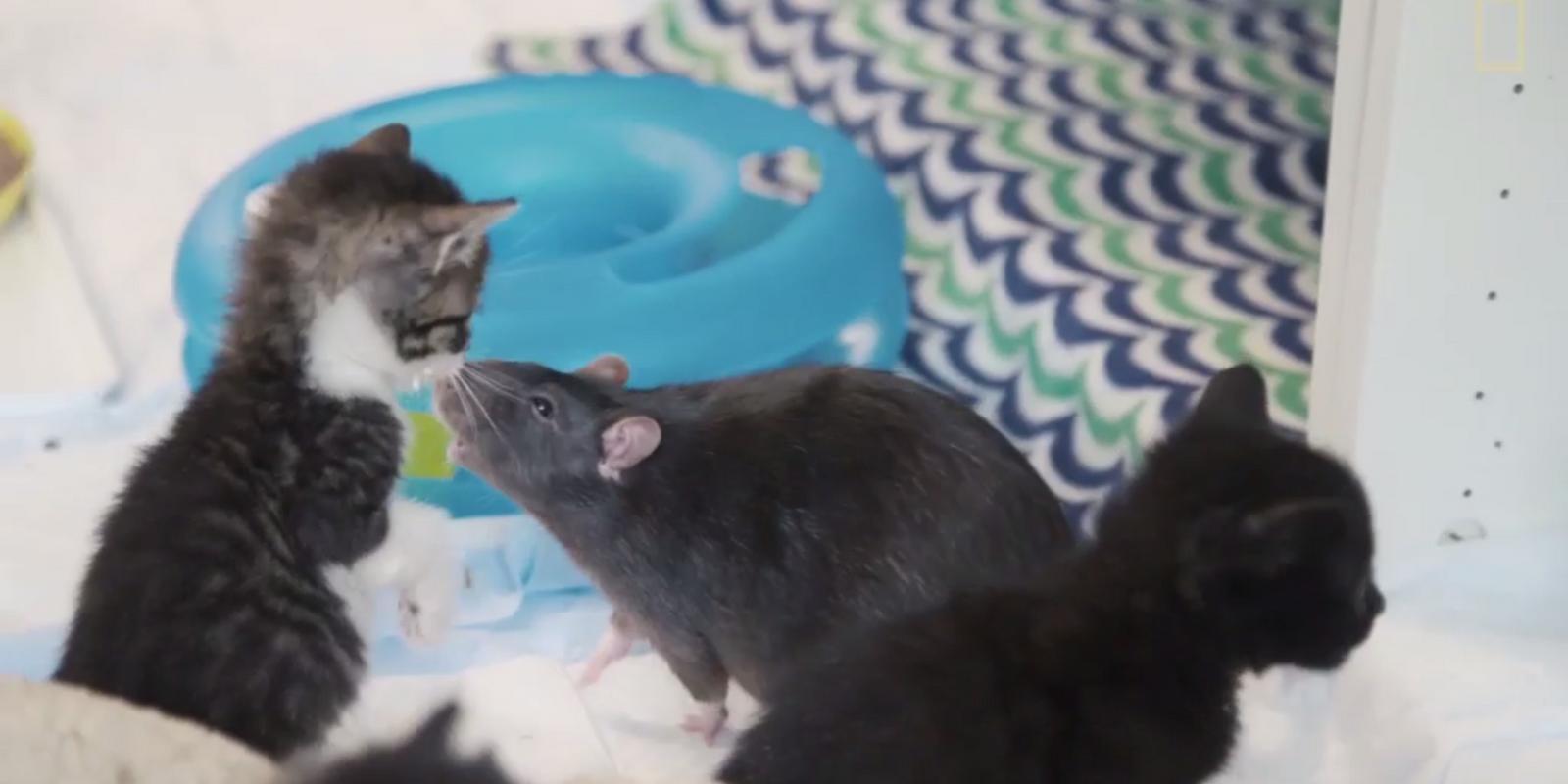 Diese Kätzchen haben ungewöhnliche Kindermädchen
