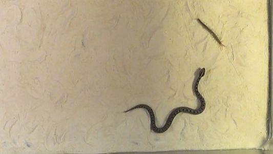 Wie jagen Schlangen giftige Beute?