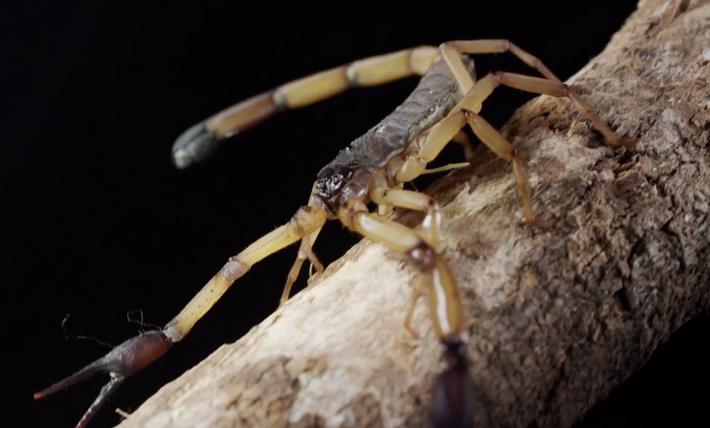 Ungezähmt: Rindenskorpion