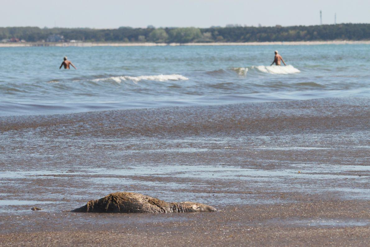 Robben und Urlauber am Badestrand bei Glowe auf Rügen: Immer häufiger kommt es zu Begegnungen zwischen …