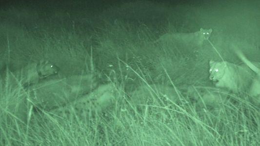 Hyänen vertreiben Löwen von ihrer Beute