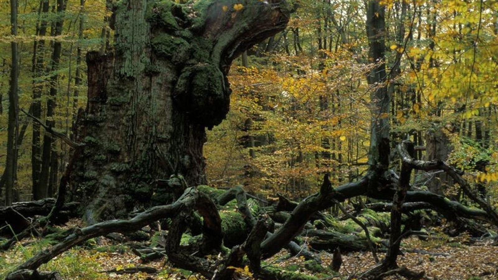 Bäume wie diese alte Eiche haben einen enormen Nutzen für intakte Ökosysteme.