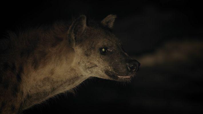 Hyänen stehlen die Beute eines Krokodils