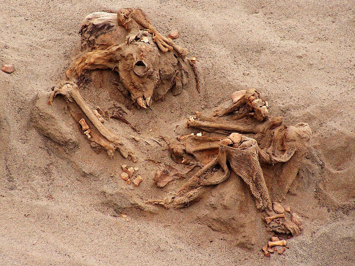 Viele der 200 geopferten Lamas waren nach 500 Jahren noch so gut erhalten, dass die Archäologen ...