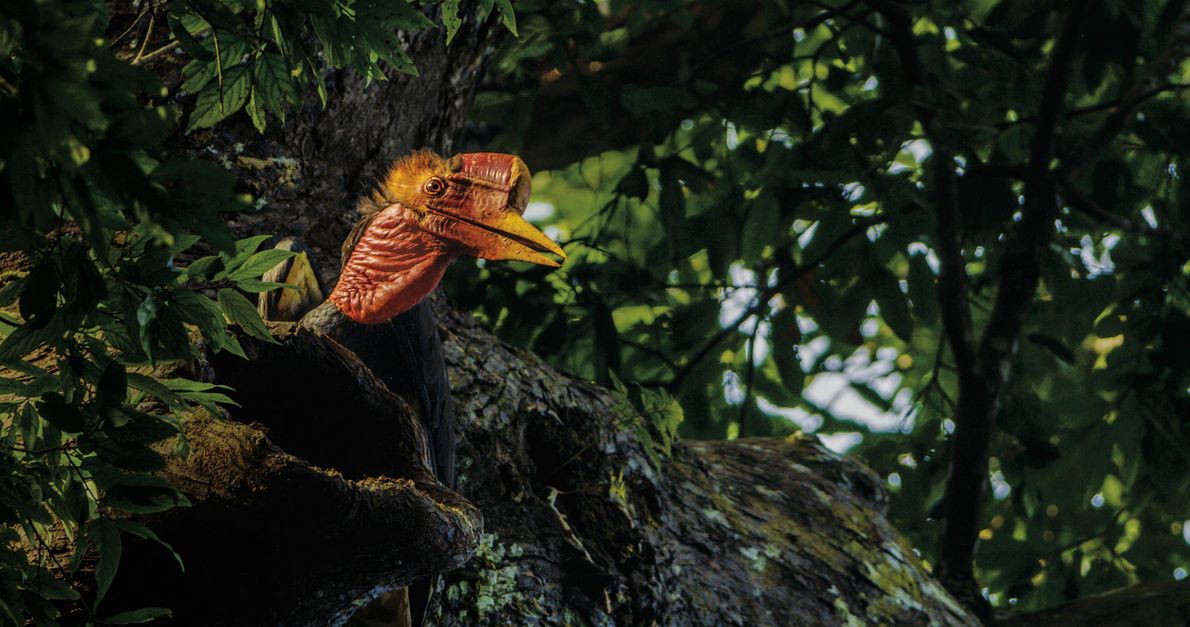 Schildschnäbel sind unentbehrlich für den Fortbestand der Wälder Südostasiens. Sie verbreiten die Samen durch Hochwürgen oder …