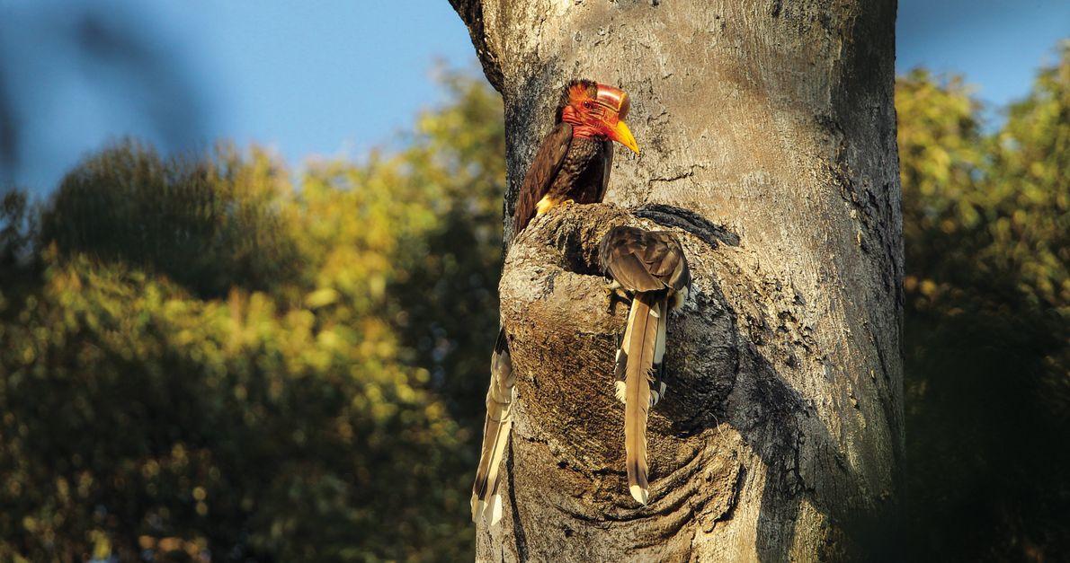 Das Schildschnabelpaar untersucht ein potenzielles Nest. Entscheidet es sich dafür, wird das Weibchen darin eingeschlossen und …