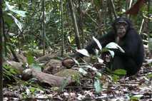 Schimpanse im Taï-Nationalpark in der Elfenbeinküste beim Nüsseknacken.