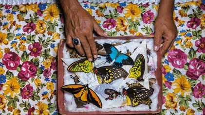 Galerie: Die Jäger der Schmetterlinge