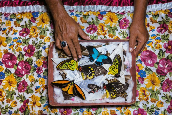 Schmetterlinge auf der indonesischen Insel Bacan