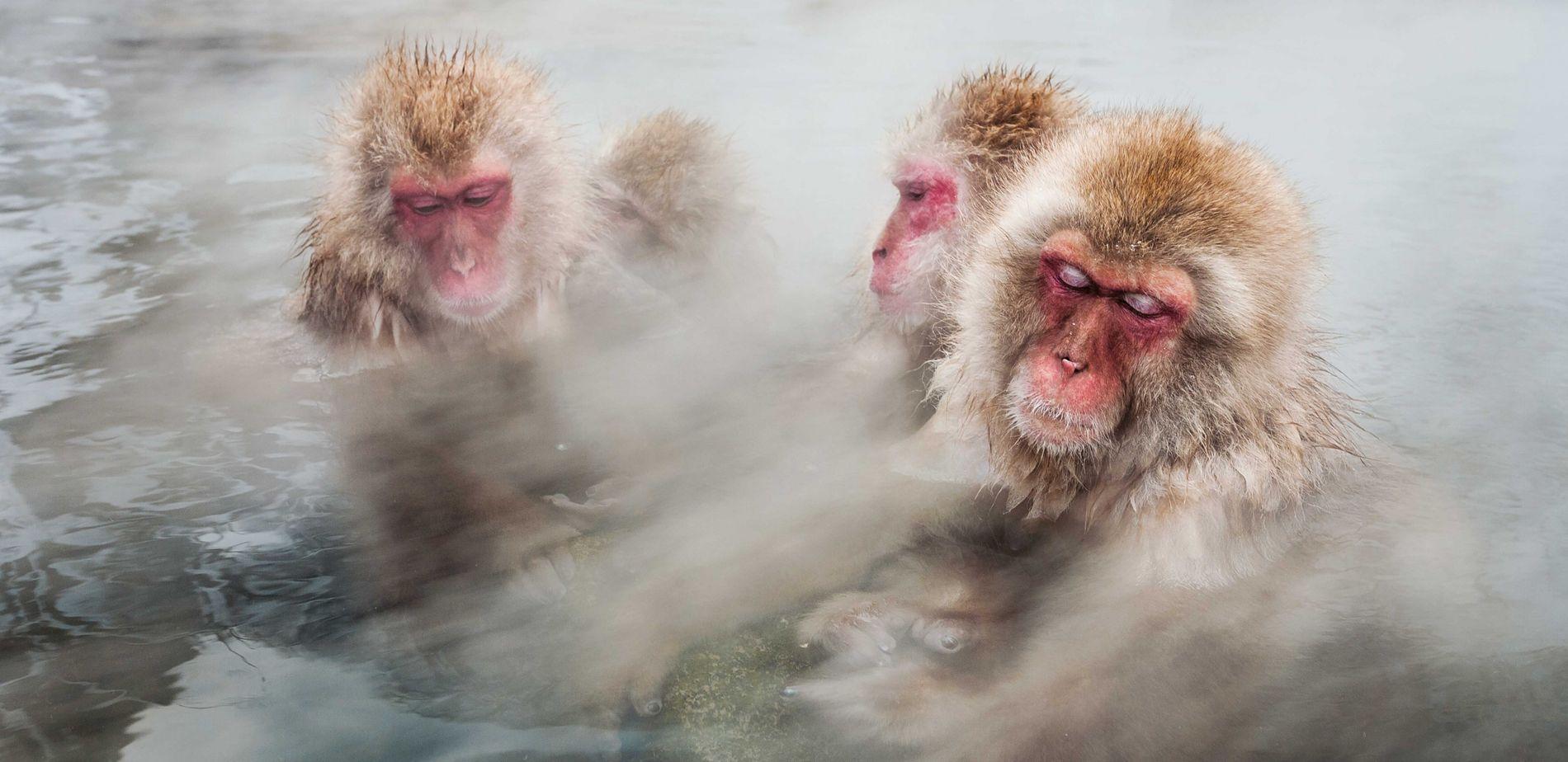 Schneeaffen nehmen ein entspannendes Dampfbad in einer heißen Quelle in Japan. Die Lufttemperatur liegt hier im Winter unter dem Gefrierpunkt, das Wasser erreicht bis zu 35 Grad.