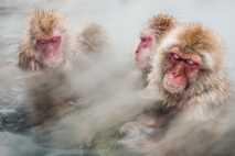 Schneeaffen nehmen ein entspannendes Dampfbad in einer heißen Quelle in Japan. Die Lufttemperatur liegt hier im ...