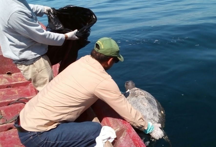 Hunderte Meeresschildkröten tot aufgefunden