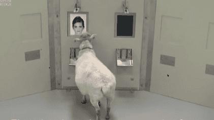 Schafe können Gesichter erkennen