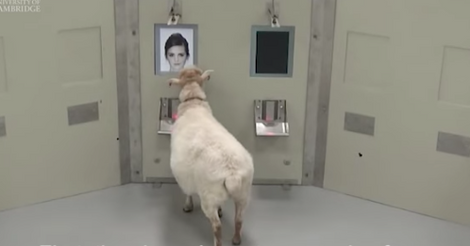 Ein Schaf bei der Studie von Forschern der Universität Cambridge.