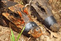 Schon 2016 beschäftigte sich eine Studie mit den auffällig gefärbten Krokodilen in Gabun.