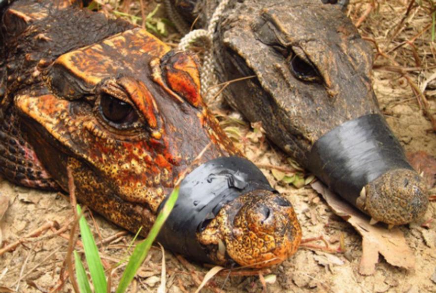 Orangefarbene Höhlenkrokodile könnten sich zu neuer Art entwickeln