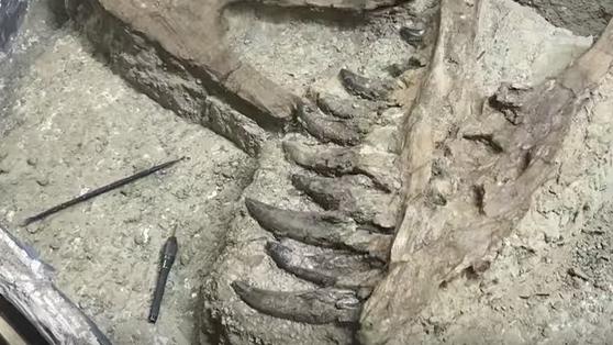 Fossilfund: Junger T. rex oder kontroverser Nanotyrannus?