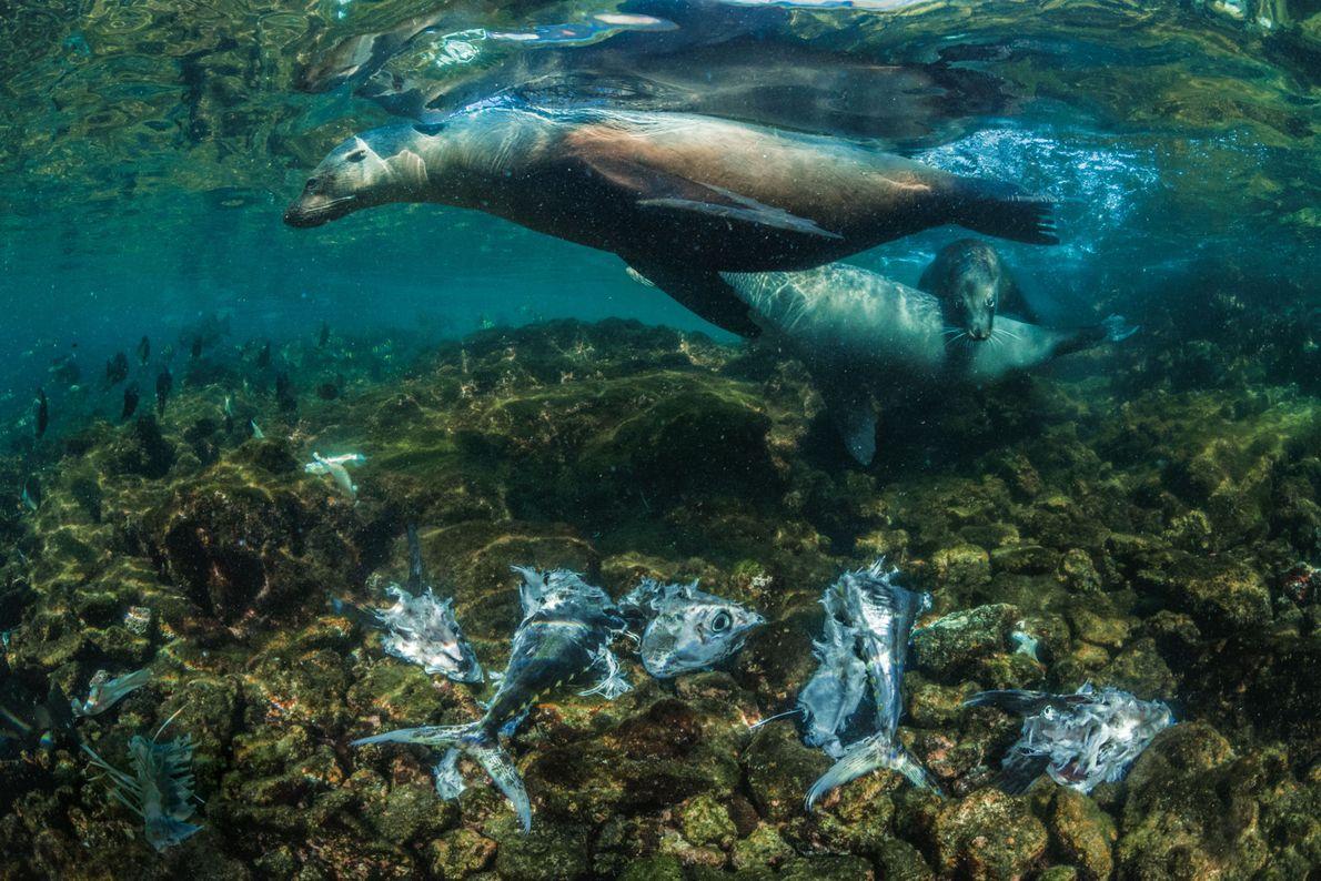 Galápagos-Seelöwen jagen an der Ostküste der Isla Isabela die hier reichlich vorkommenden Gelbflossen-Thunfische. Sie treiben die ...