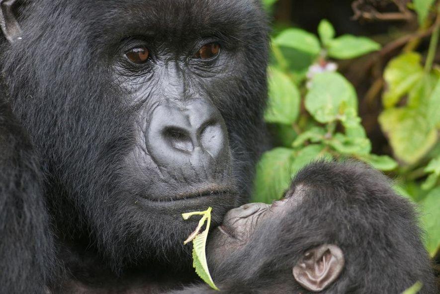 Silberrücken und Jungtier aus dem Virunga-Gebirge, Ruanda