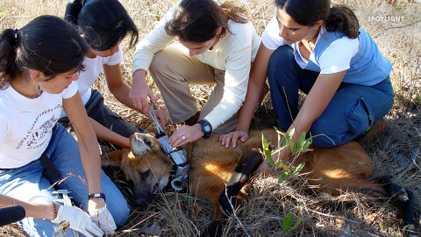 Bedrohte Tierwelt Brasiliens – Mähnenwolf