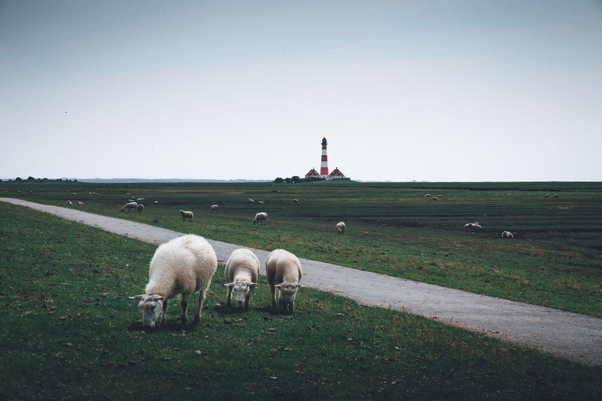 Leuchtturm Westerheversand Schafe Deich