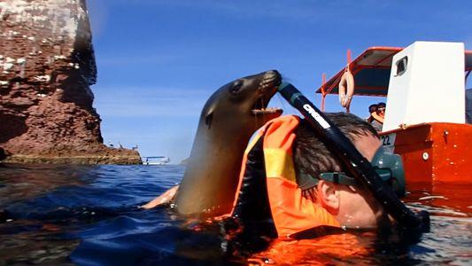 Verspielter Seelöwe auf Los Islotos