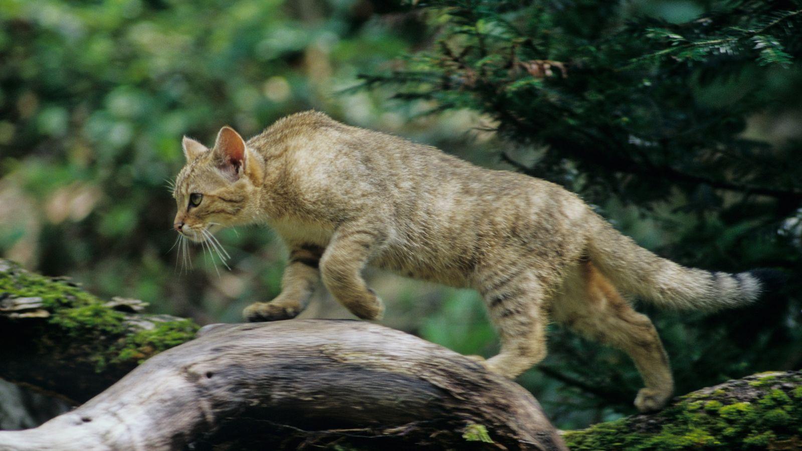 Wildkatze und Hauskatze sehen sich oft verblüffend ähnlich. Wichtiges Unterscheidungsmerkmal: der dickere Schwanz der Wildkatze mit ...