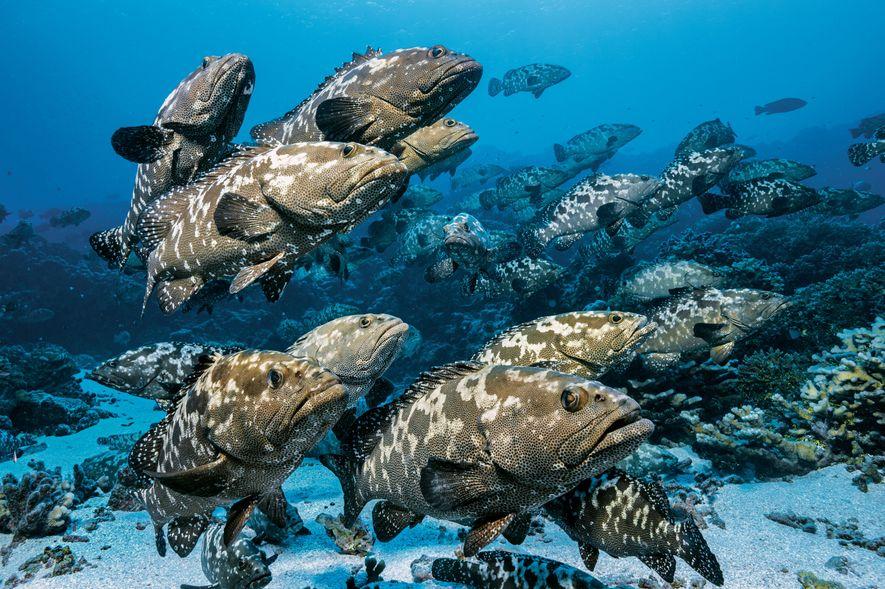 Jedes Jahr im Juni ziehen 17 000 Zackenbarsche in die Lagunenöffnung des Atolls zum Laichen.