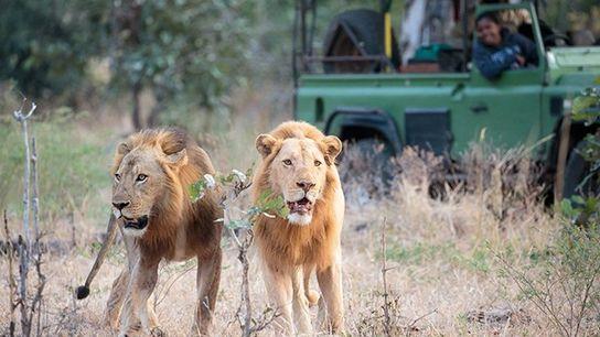 Thandiwe Mweetwa im South Luangwa National Park mit Löwen