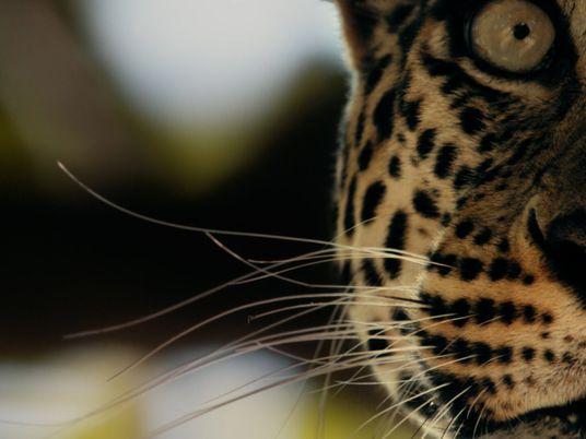 Todessprung der Leopardin