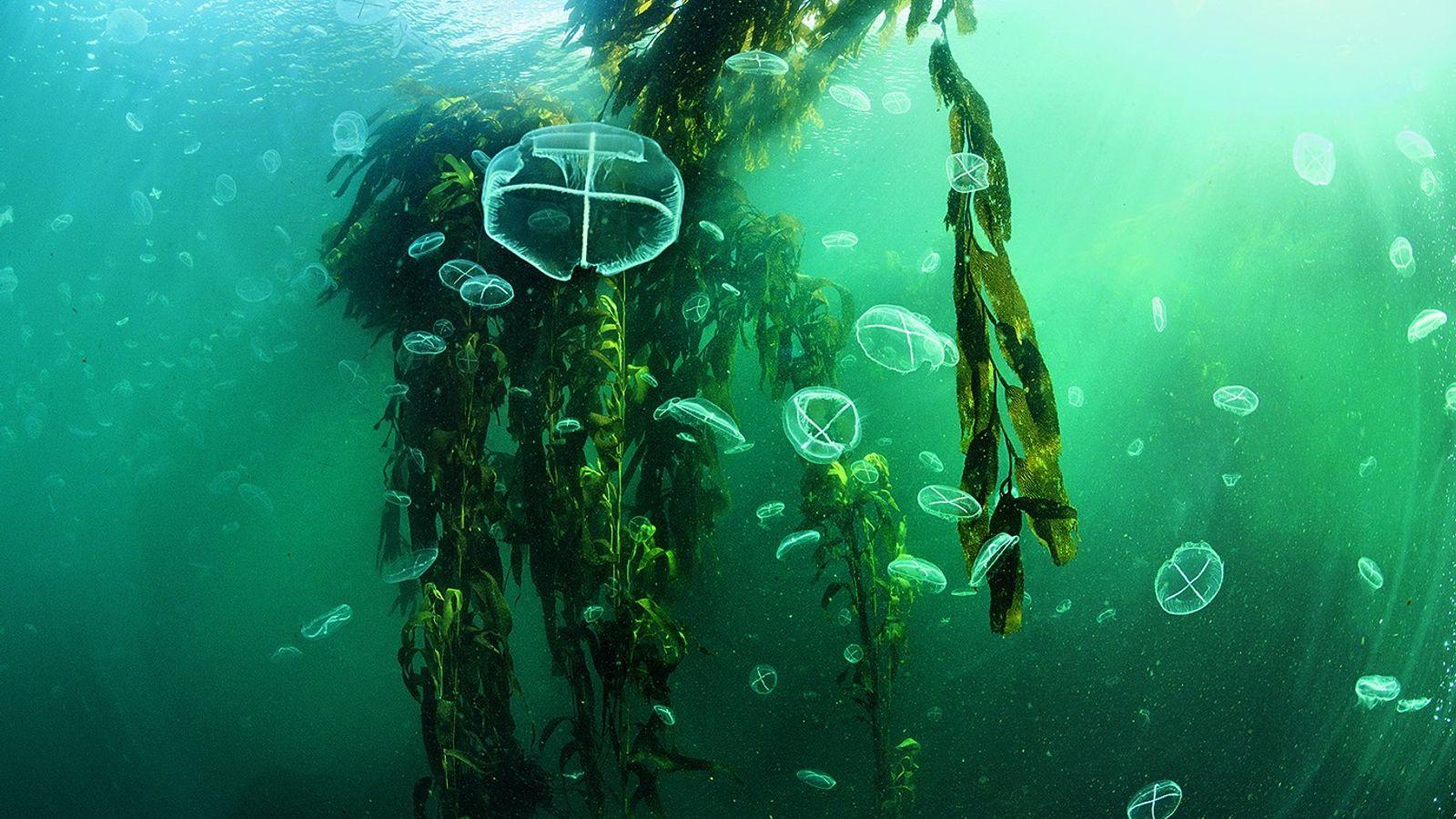 Thetis Bay Quallen