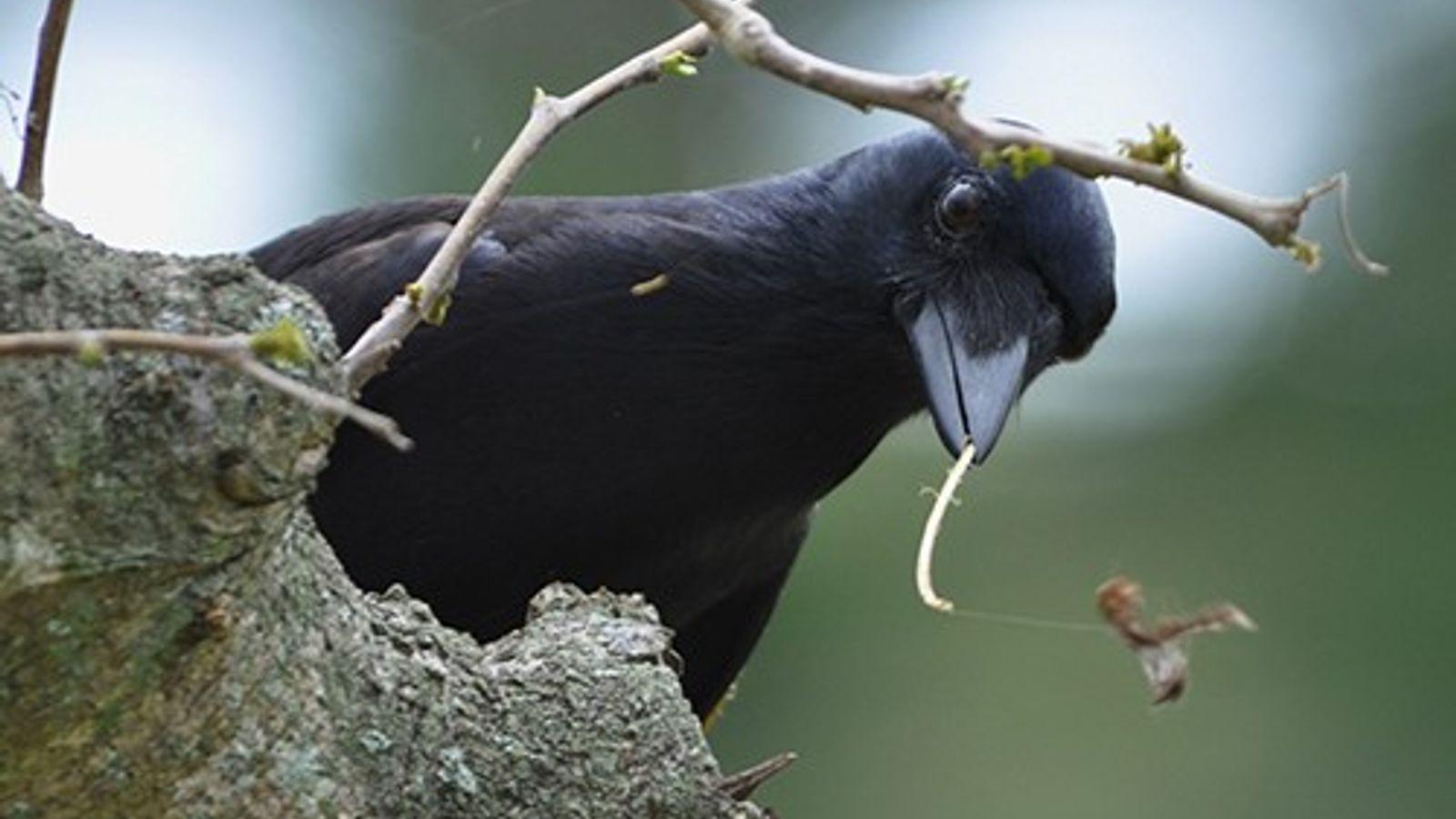In den Regenwäldern Neukaledoniens entwickeln schlaue Geradschnabel-Krähen raffinierte Methoden um an Larven in Baumstämmen zu gelangen.