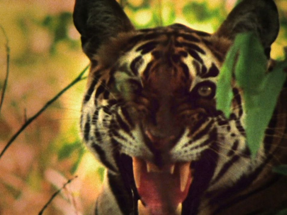 Tiger auf Affenjagd