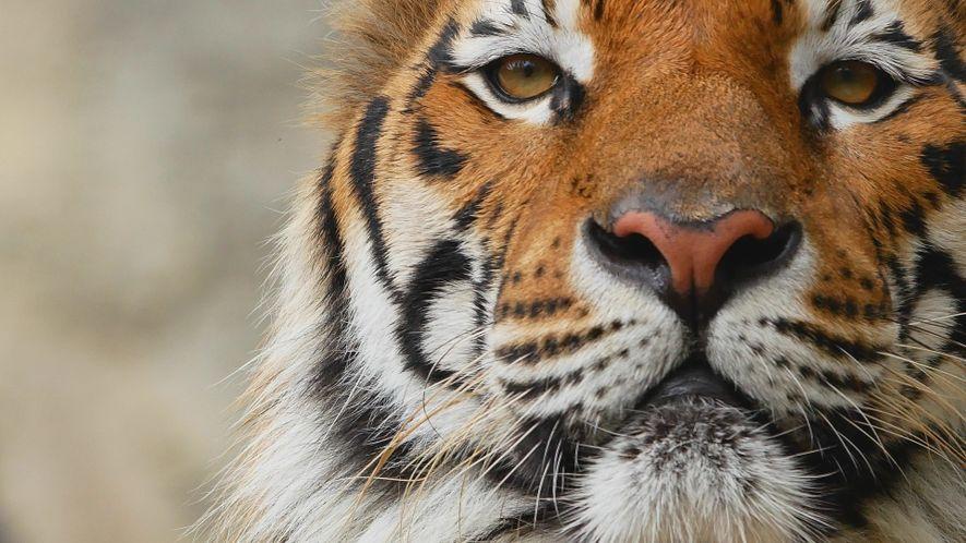 Wissen kompakt: Tiger