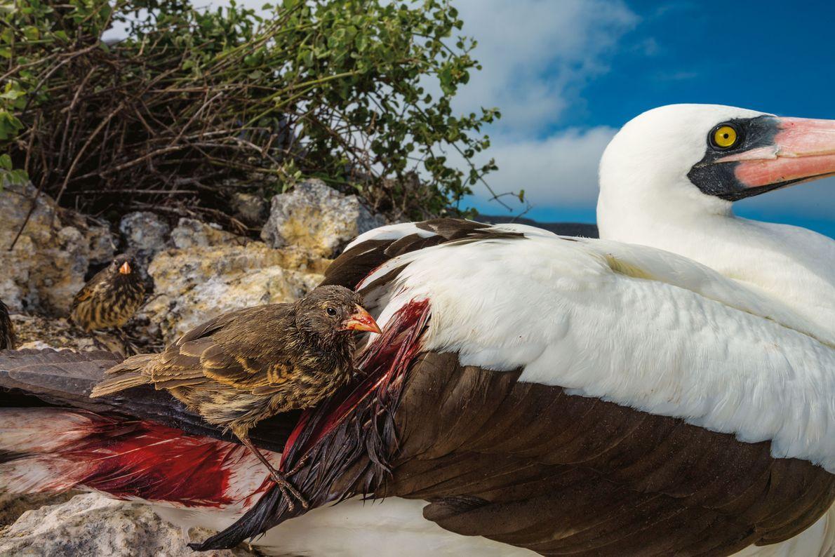 Auf der abgelegenen Isla Wolf ist die Nahrungssuche für Finken schwieriger als für Landvögel an anderen ...