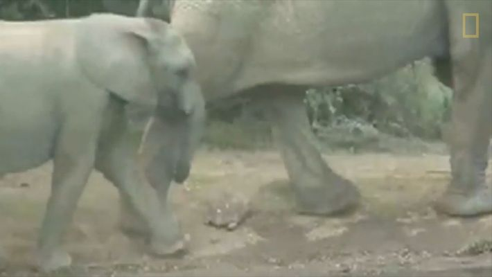 Schildkröte in Elefanten-Rush-Hour