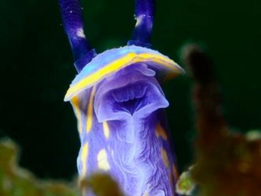 Häschen der Meere: Die verrückte Welt der Nacktkiemer
