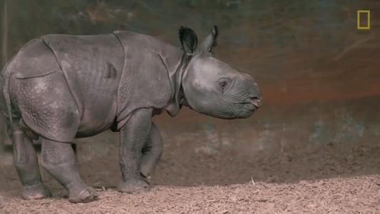 Neuer Nashornnachwuchs entdeckt selbstbewusst die Welt