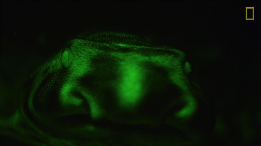 Biofluoreszenz: Leuchtende Haie