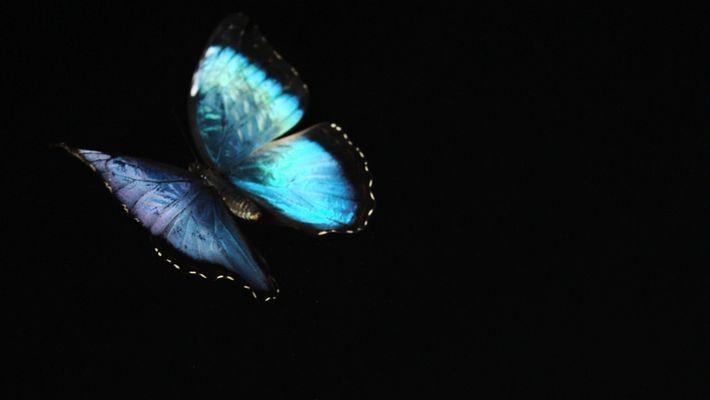 Ungezähmt: Blauer Morphofalter