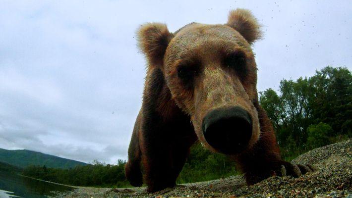 Wenn der Bär wütend wird