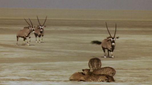 Ein Geparden-Bündnis will Beute machen