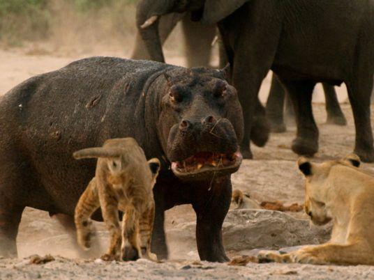 Löwen gegen Flusspferd: Streit ums Wasserloch