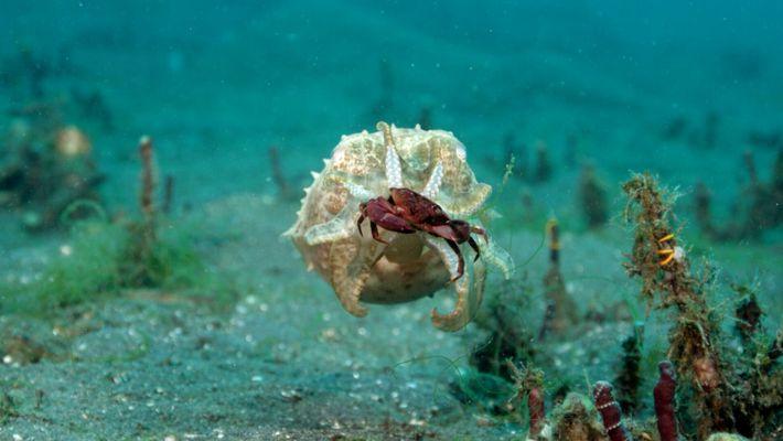Hypnotische Sepien auf Krabbenjagd