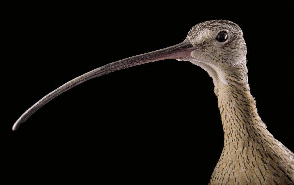 Rostbrachvogel
