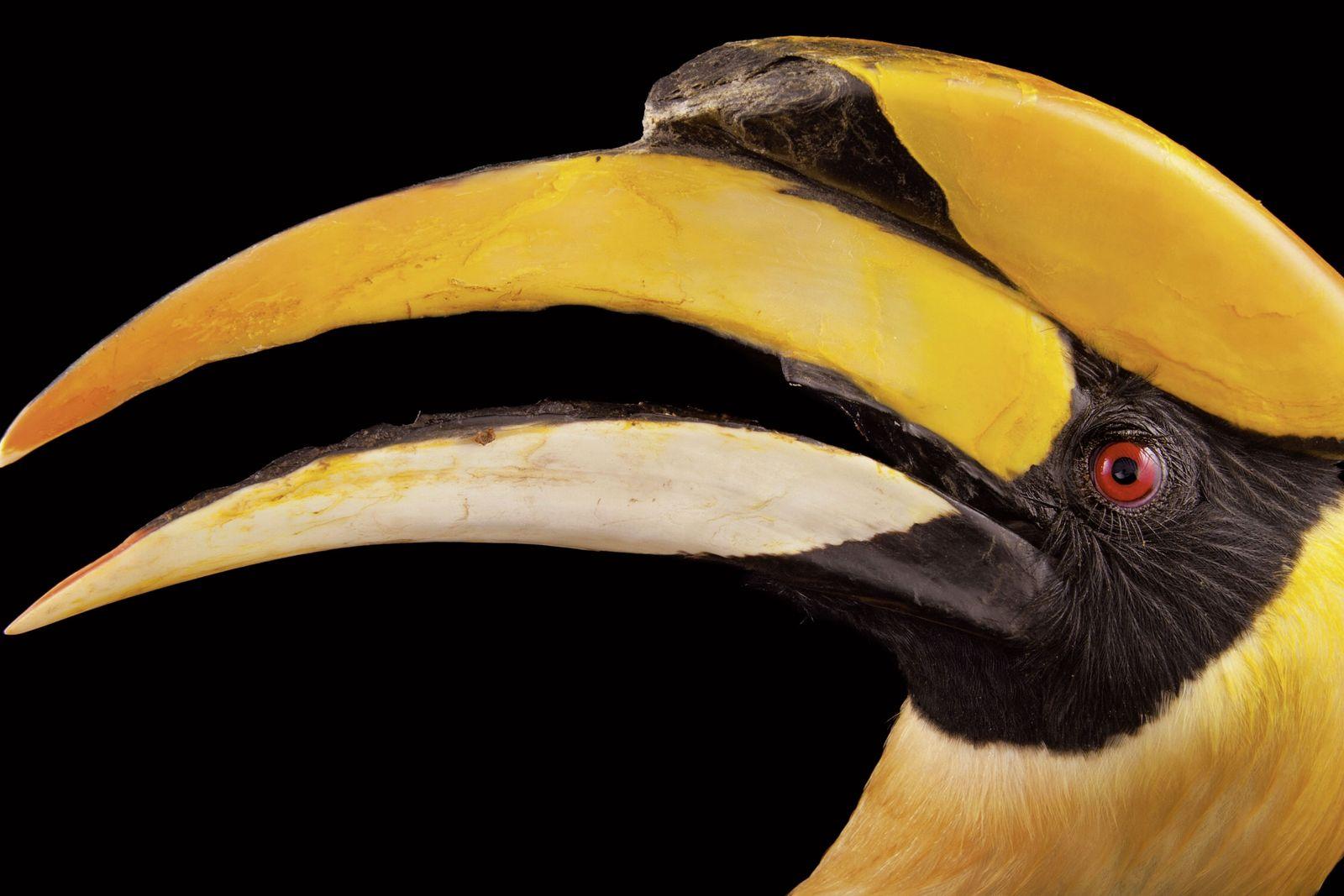 Mit einer Flügelspannweite von fast zwei Metern und seinem gewaltigen Schnabel ist der Doppelhornvogel der König ...