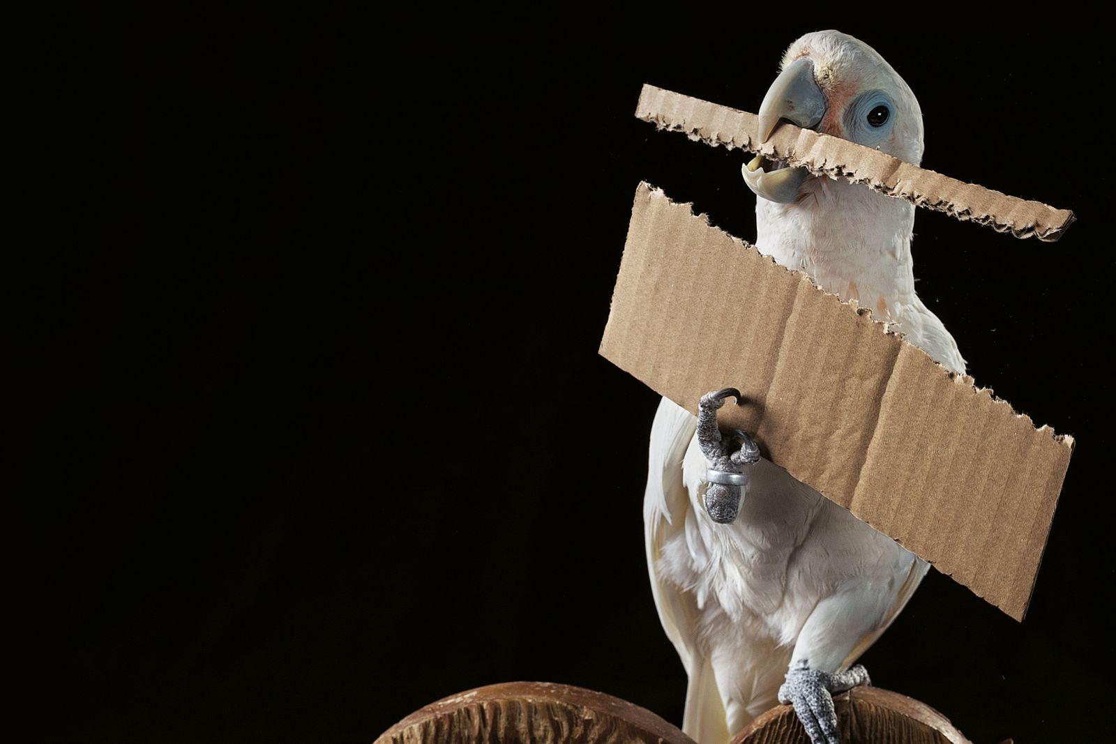 In einem österreichischen Forschungsgehege präsentiert der erfindungsreiche Kakadu Figaro ein Instrument, das er zum Heranangeln von ...