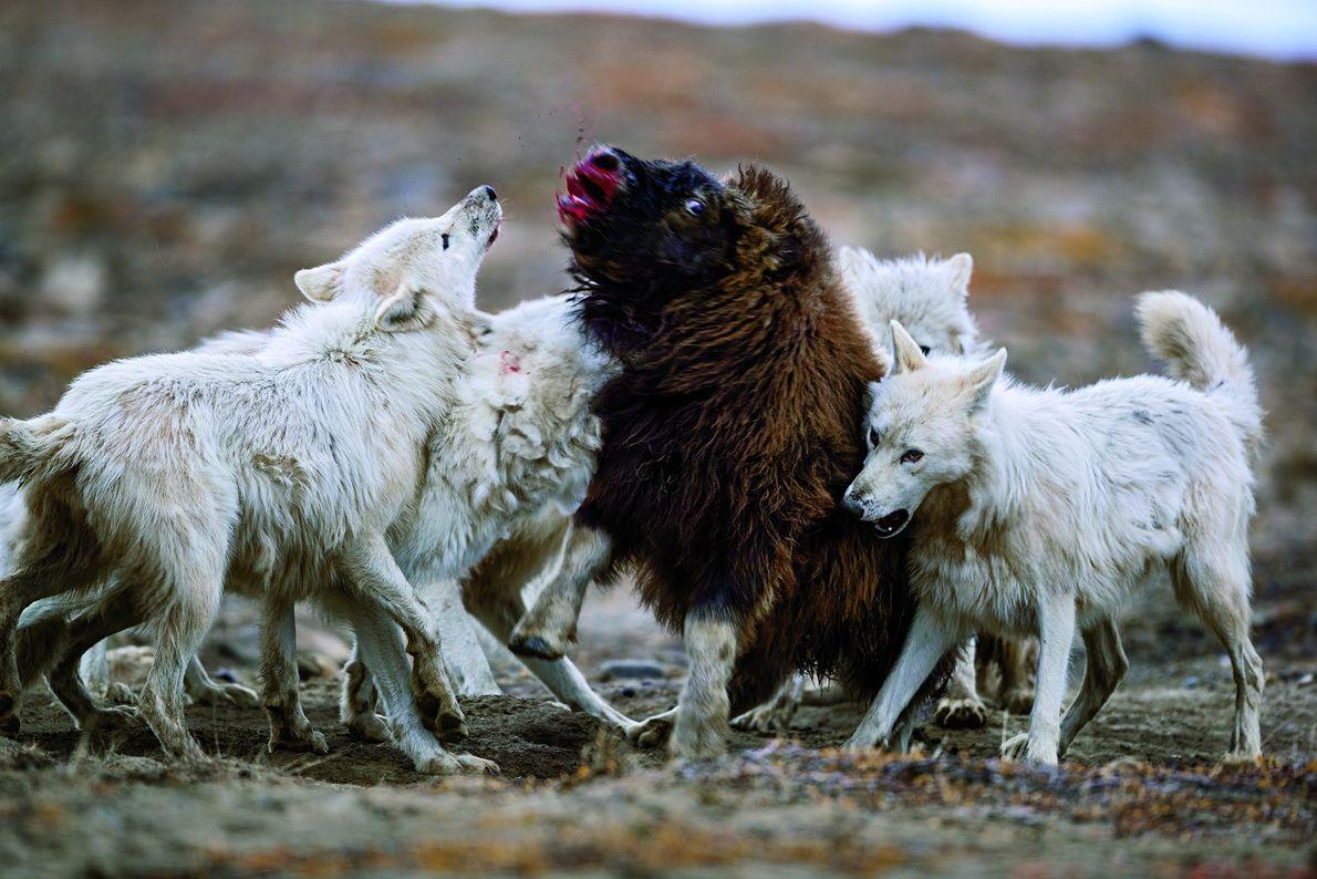 Polarwölfe in der kanadischen Tundra